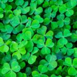 green 3 leaf clovers